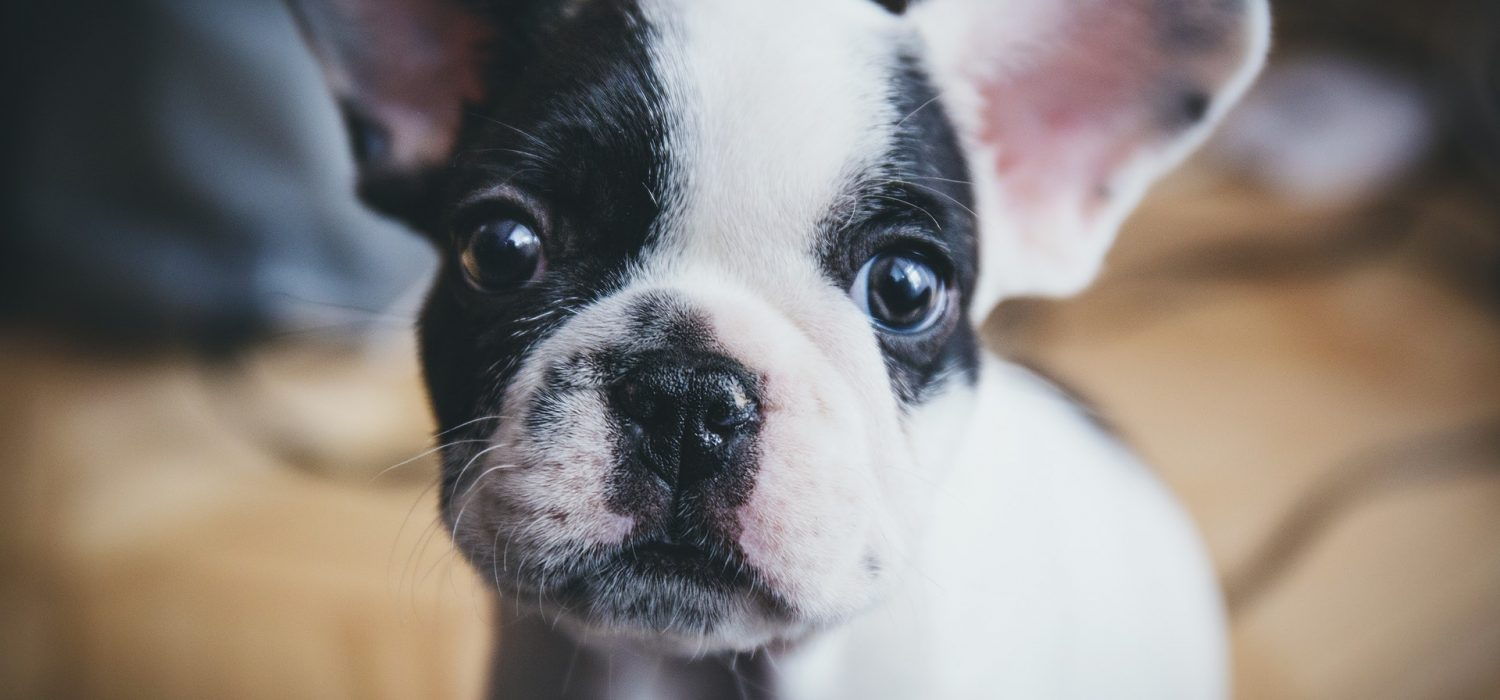 black and white frenchie