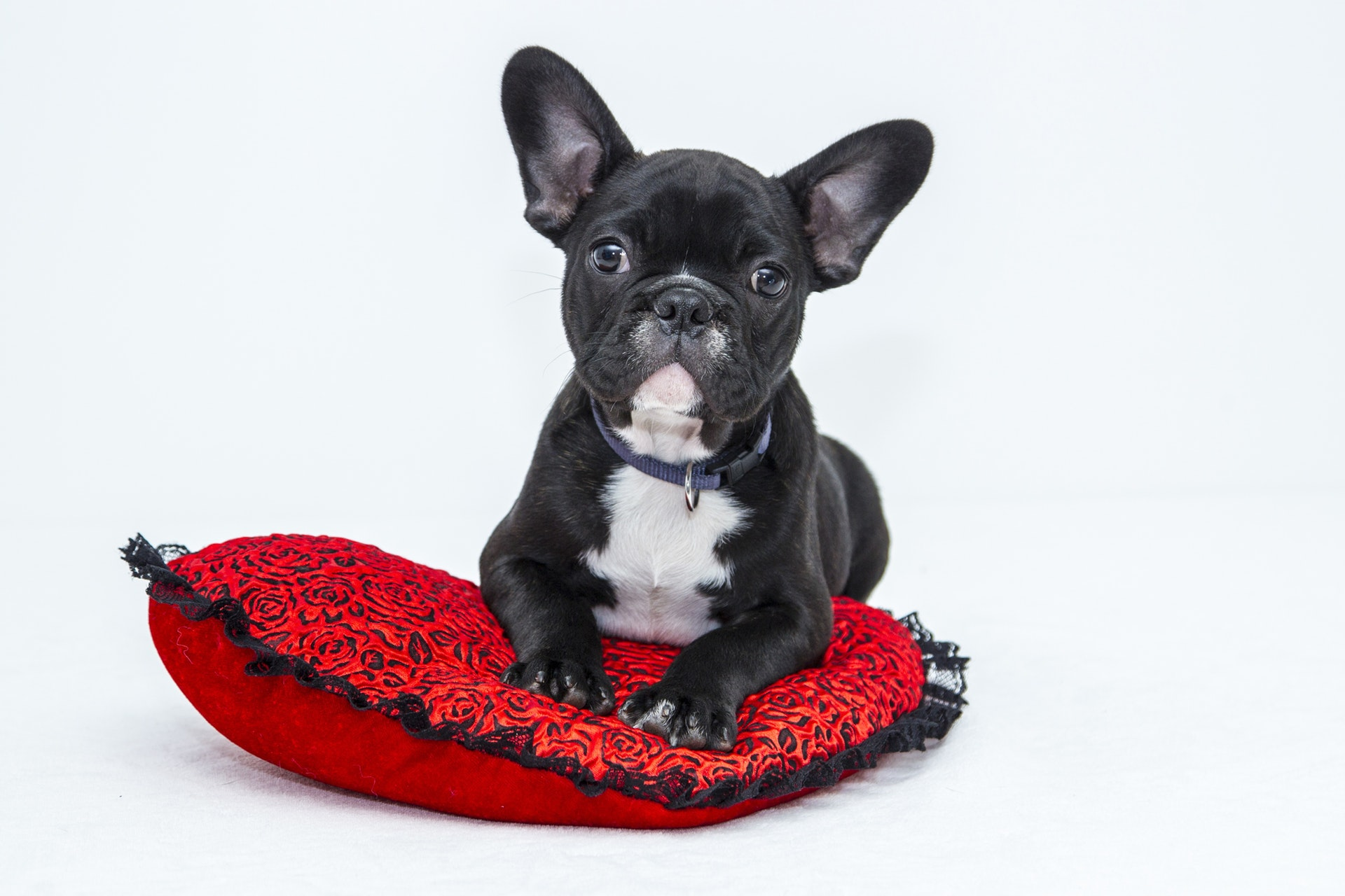 frenchie with pillow
