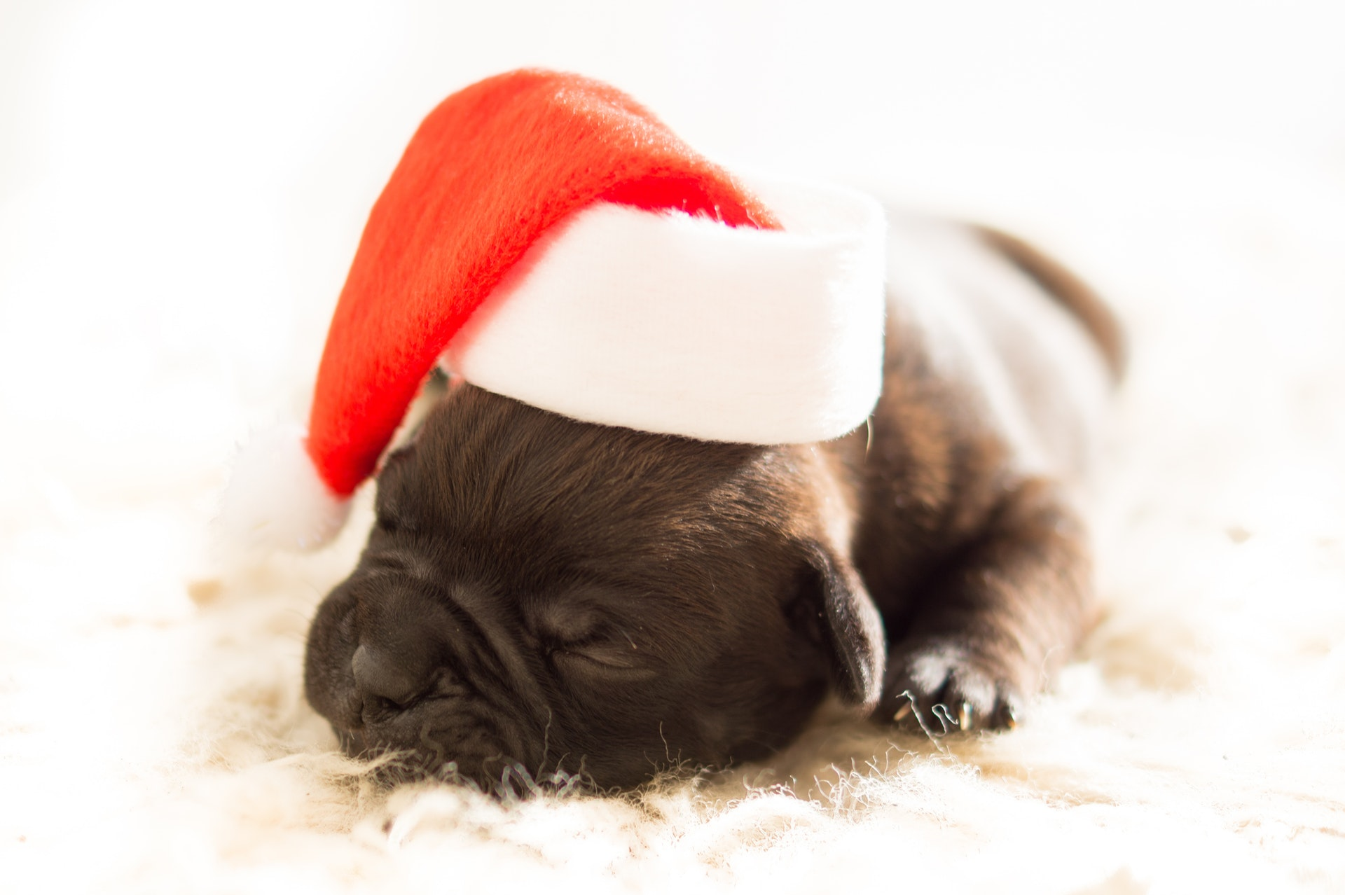 sleeping puppy with santa hat